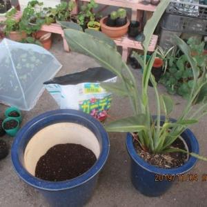 ストレジチアレジナ(極楽鳥花)植え替え