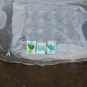チンゲンサイ種蒔き