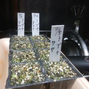 「壬生菜(ミブナ)」種蒔き 3種類