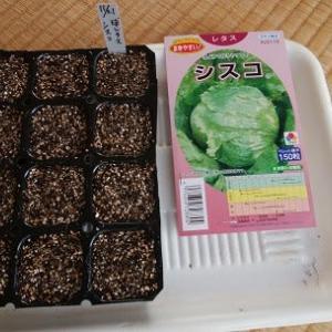 球レタス種蒔き