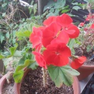 ゼラニュウムまた開花