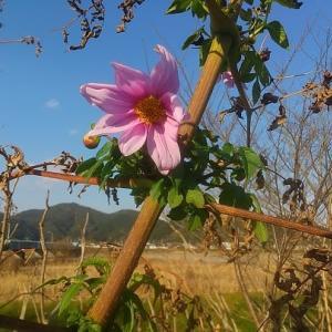 温暖化の象徴 ピンクの大輪