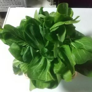今日の「葉物野菜」収獲 いくつか