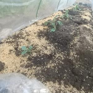ブロッコリーとカリフラワー定植