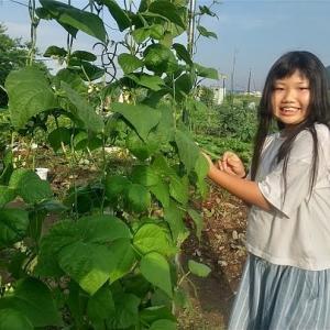 蔓あり「インゲン」収穫のお手伝い