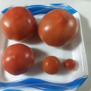 大玉トマト収穫始まる」