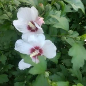 ムクゲ今年も「咲き」出した 「無尽」を思い出す