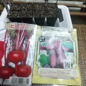 ビーツ(2種)種蒔