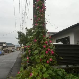ピンクフラミンゴ 電柱に咲く