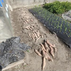 サツマイモ2畦収穫