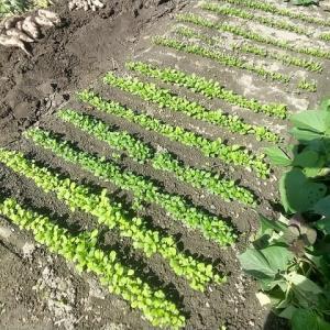 葉物野菜(4種類順調)ホウレンソウ。ベンリナ・チジミナ・コマツナ