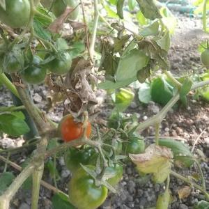 温室で 野菜3種共演 サツマイモ・ミニトマト・カボチャ