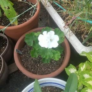 ゼラニューム「挿し芽」花が開いた