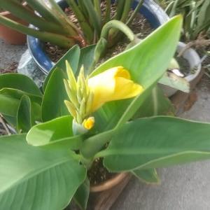 また開花「カンナ」