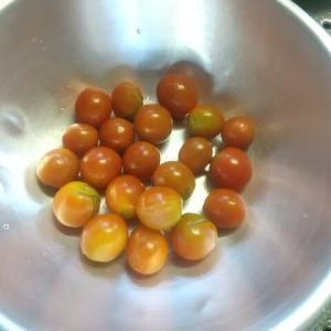 今日の収獲「ミニトマト」