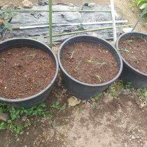 「越のレット」大きな鉢に定植