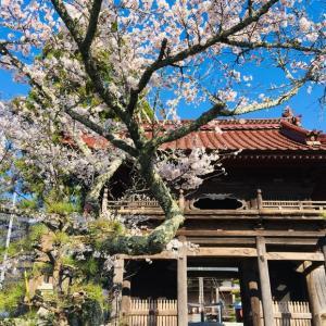 本宮山円城寺も桜満開