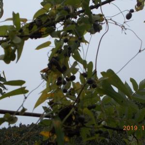 葉っぱが黄色に変わり、ムカゴの大収穫となる!