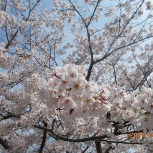 出掛けられない皆さんへ加東市の桜をお見せしましょう!