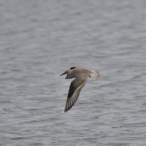 コオバシギ 幼鳥 飛翔