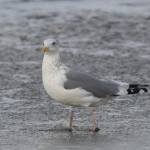 セグロカモメ 成鳥・冬羽