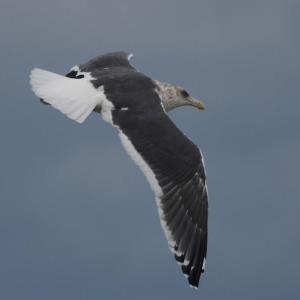 オオセグロカモメ 成鳥・冬羽の飛翔