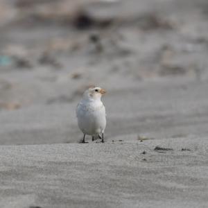 ユキホオジロ 砂浜にて-3