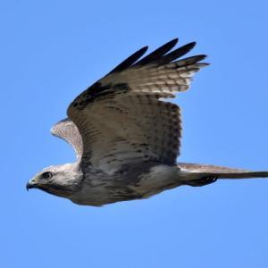 ノスリ 淡褐色型・幼鳥? その3 飛翔