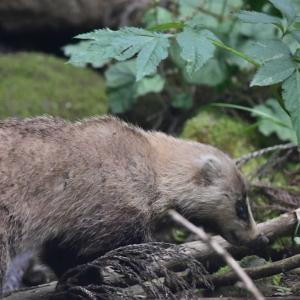 新潟の野獣 ニホンアナグマ-3