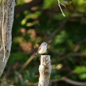 粟島の野鳥たち オジロビタキ