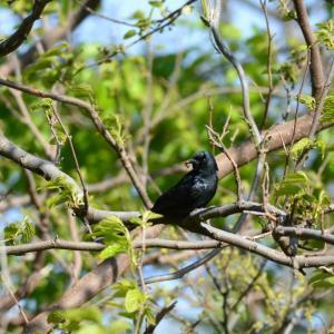 粟島の野鳥たち オウチュウ