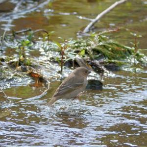 粟島の野鳥たち アカマシコ