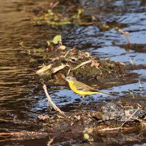 粟島の野鳥たち ツメナガセキレイ