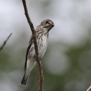 エゾビタキ 幼鳥