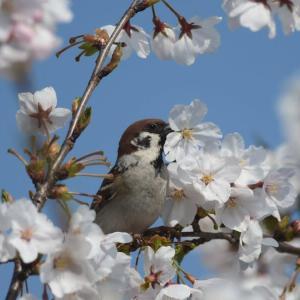 スズメ 桜の蜜を盗む-5