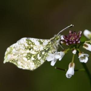 新潟の野蝶 ツマキチョウ
