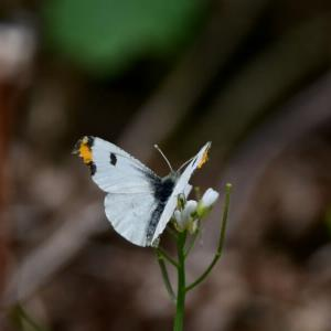 新潟の野蝶 ツマキチョウの雌雄