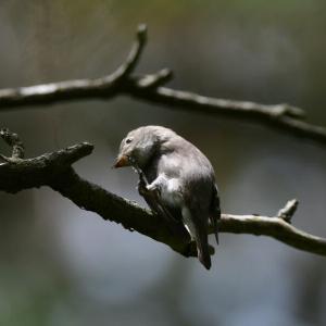 頭を掻く野鳥たち コサメビタキ