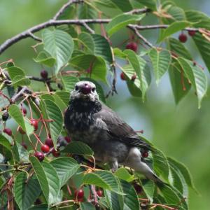 野鳥の好きな木の実 サクラ