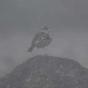 霧と雨の中のビンズイ 宮城県・蔵王にて