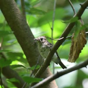 キビタキ 幼鳥