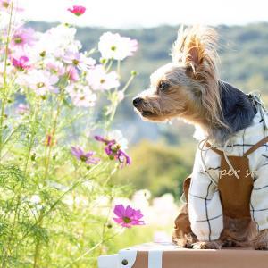 ★最新小型犬服!ふんわり袖のウィンドウペンチェックシャツ