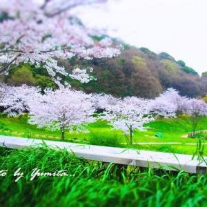 淡くて切ない桜の記憶・・・ 5年前の桜たちの思い出。  (北九州市・金比羅池周り)