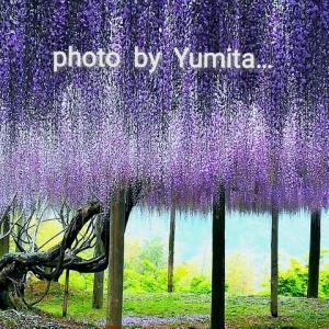 2019'5 ~Fuji~  ( 世界でも有名な河内藤園 )