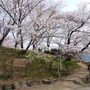 弘法山の桜屏風