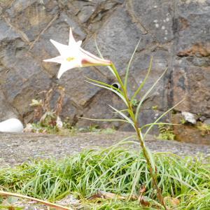 季節はずれに咲いた「タカサゴユリ」