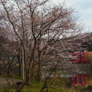 「離湖」の桜➡満開&直前