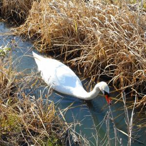 「離湖」のコブ白鳥&コウノトリ