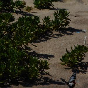 旅する蝶々「アサギマダラ」京丹後の海岸へ