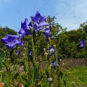 梅雨期の花たち